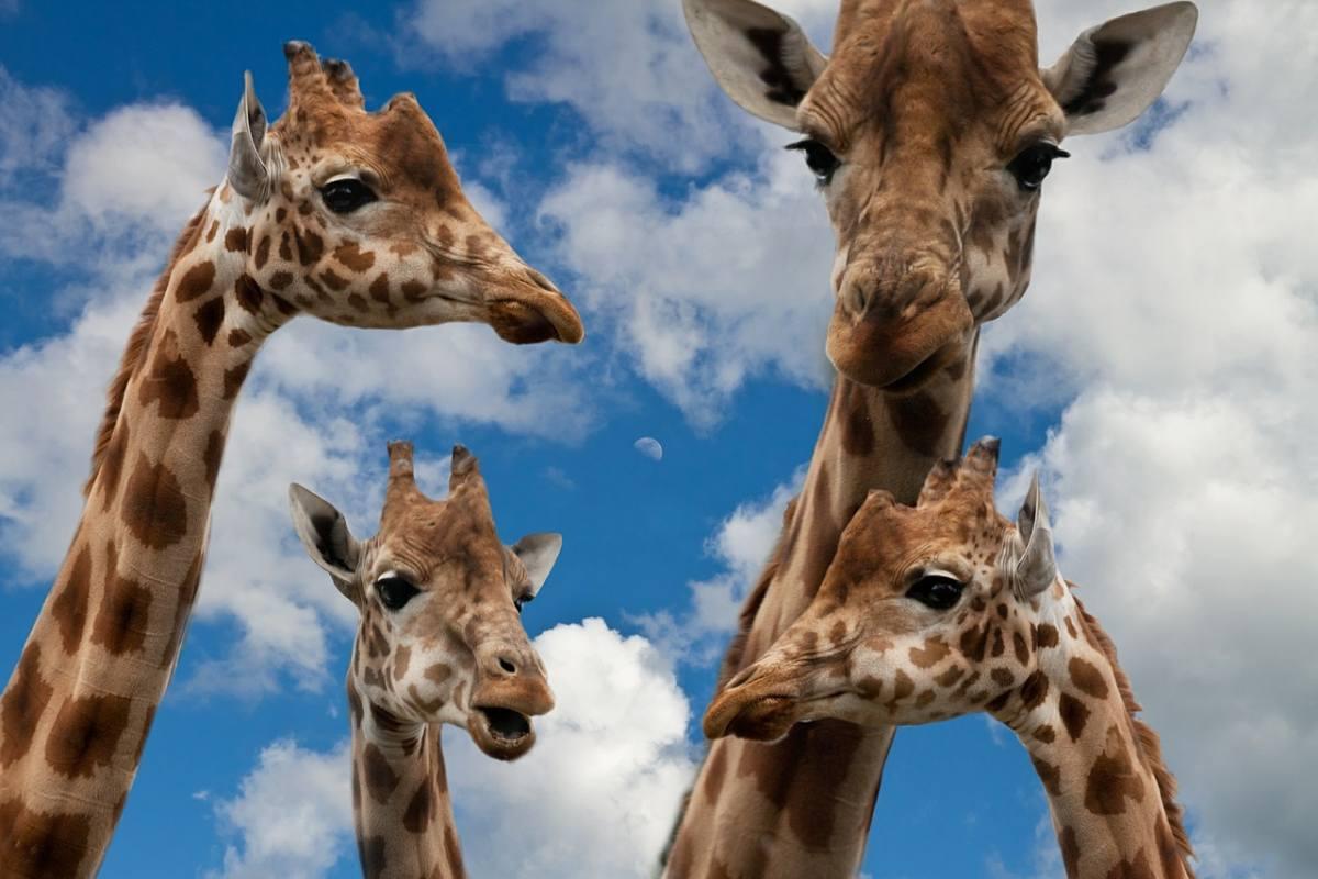 Honeymoon Safari Nairobi Giraffe