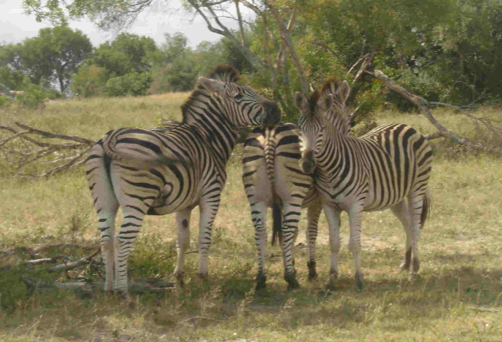 South Africa Safari Zebra