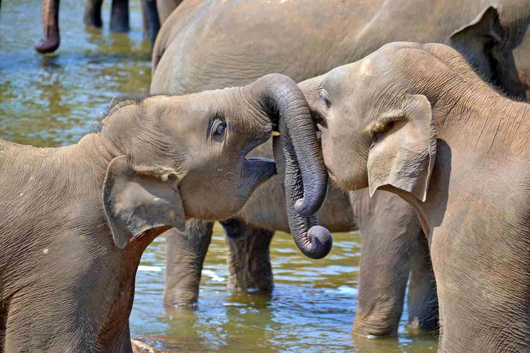 young-elephants sri lanka