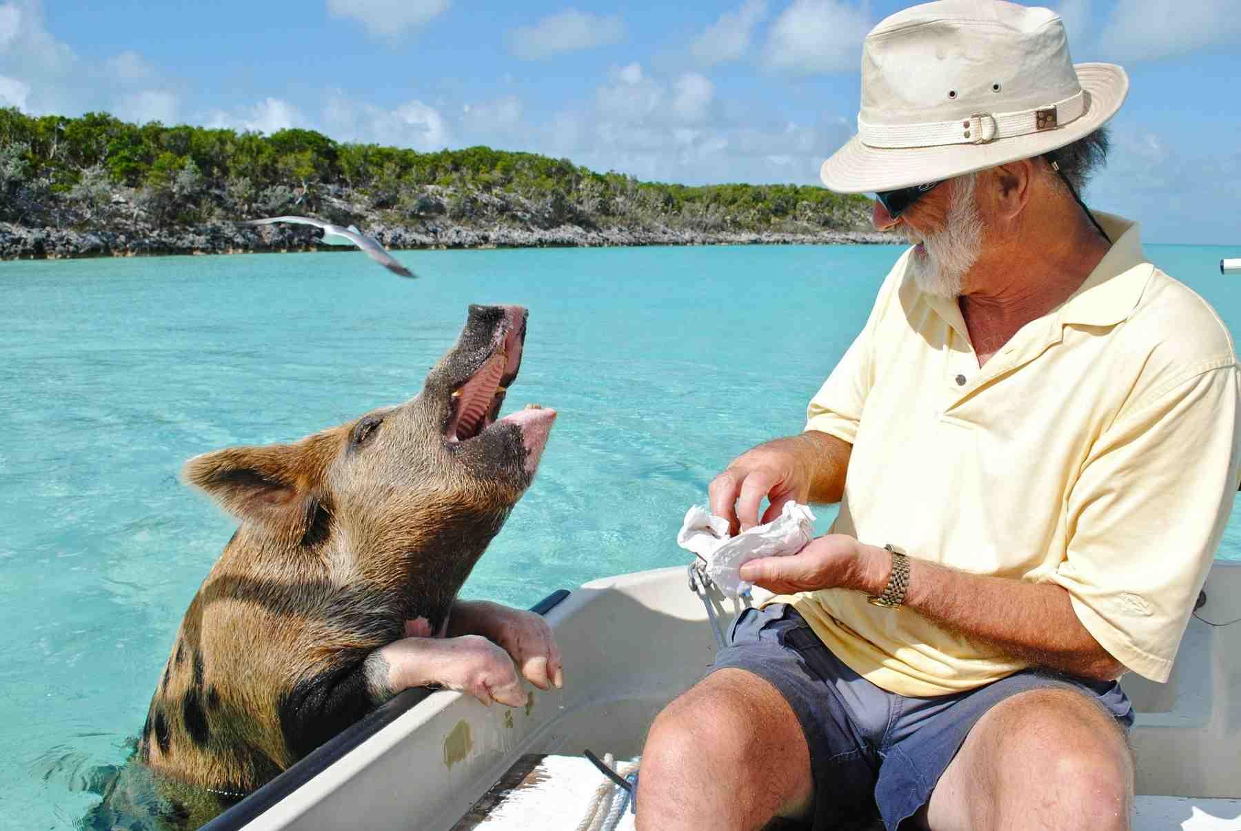 Bahamas pigs feeding