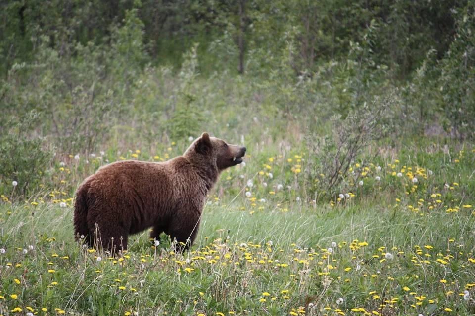 grizzly-bears alaska canada