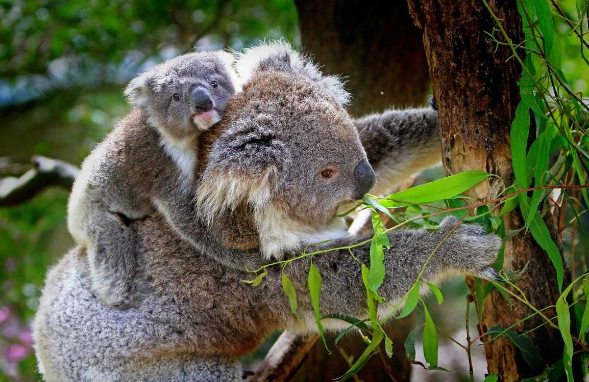 Australia Koala bears
