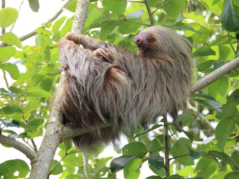 Costa Rica Sloths