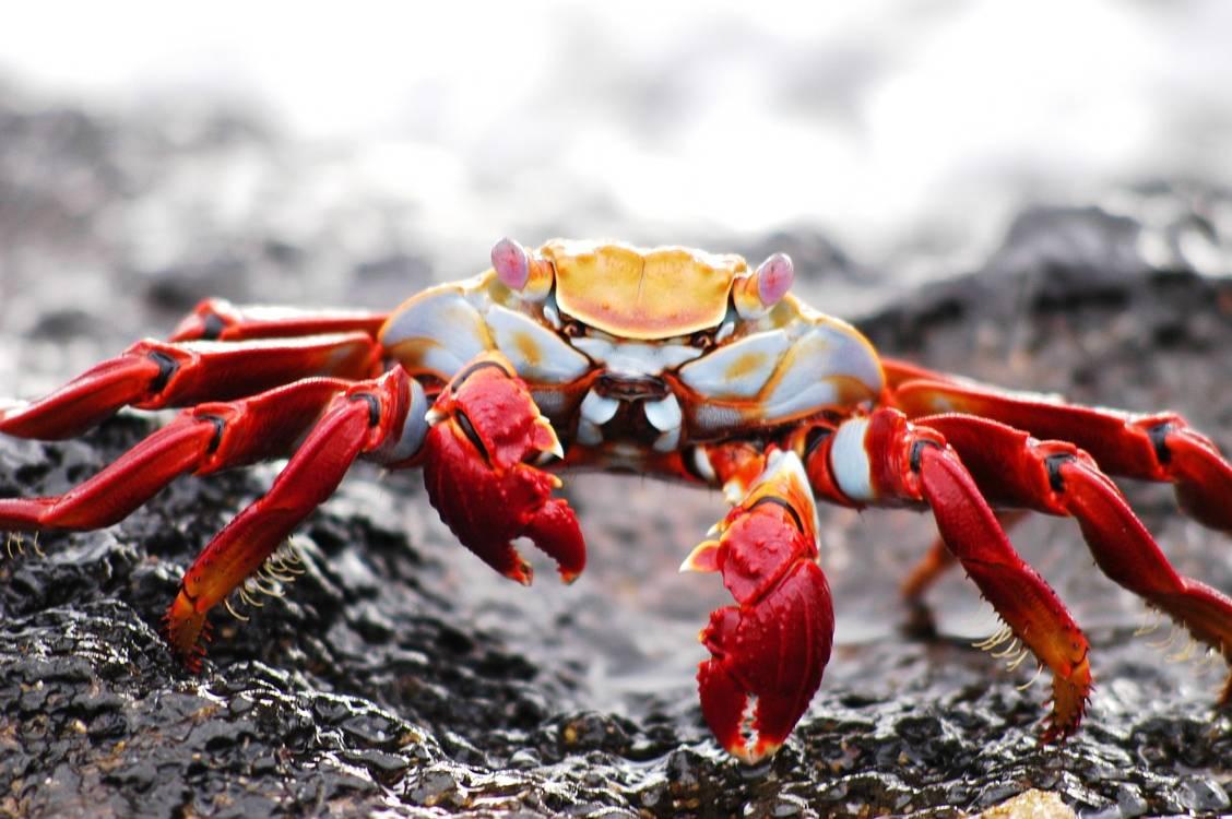 Galapagos Islands Crab